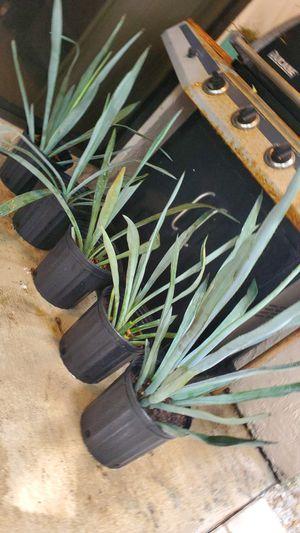 Blue Agave plants. $10 each for Sale in Deerfield Beach, FL