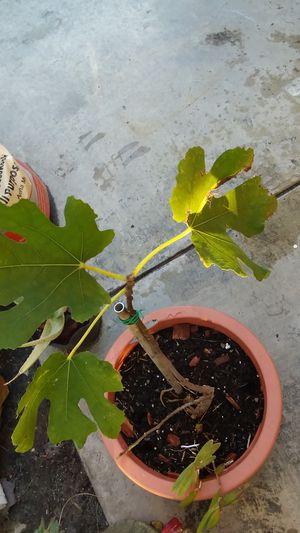 fig tree for Sale in Cerritos, CA