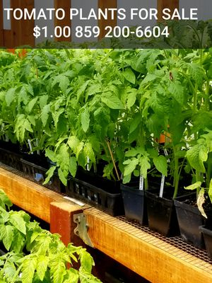 Tomato plants for Sale in Waco, KY