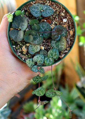 Strings of hearts Succulent for Sale in Fresno, CA