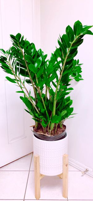 """Very Easy To Take Care/ZZ Plants/Lucky Money 💰 💵 Plants/cây kim tiền - 2'10""""Tall - Planter Not Included for Sale in Garden Grove, CA"""