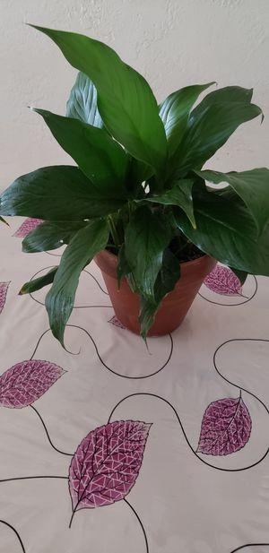 CUNA DE MOISES PLANT for Sale in Montclair, CA