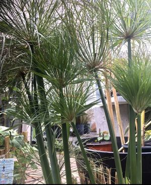 Cyperus Egyptian Papyrus 'Little Tut' for Sale in Kissimmee, FL