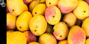 Mangos by the hundreds for Sale in Lake Worth, FL
