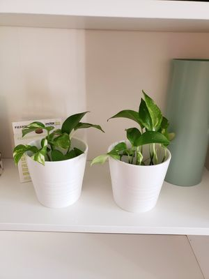 Pothos plant real plant for Sale in Anaheim, CA