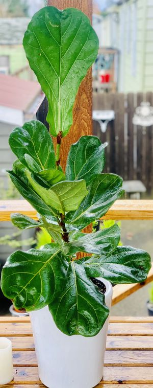 Live indoor Fiddle Leaf Fig (Ficus Lyrata) house plant tree in a ceramic planter flower pot—firm price for Sale in Seattle, WA