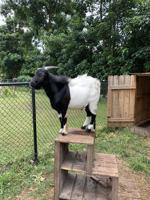 Male goat for Sale in Fort Lauderdale, FL