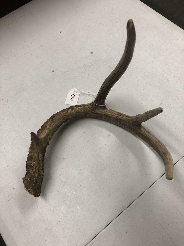 Single Mule Deer Antler Sheds