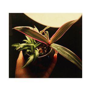 Live Plant Arrangement - Spider Plant & Boat Lily Plant for Sale in Newark, NJ