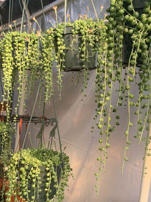 """NEW 6"""" STRING OF PEARLS hanging basket pot live plant garden gardening indoor outdoor succulent cactus succulents plants planta ART design women's SP for Sale in Los Angeles, CA"""