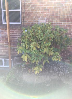 Free rhododendron plants shrub tree for Sale in Gig Harbor, WA