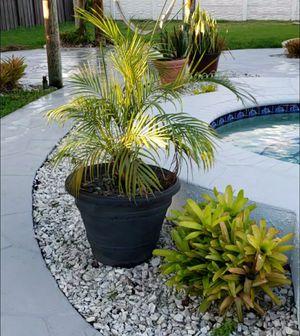 Areca in large planter for Sale in Miami, FL