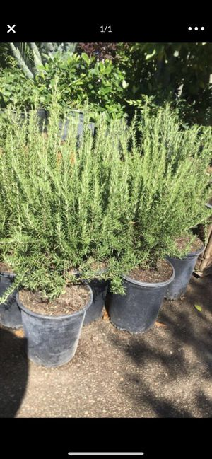 Rosemary plant for Sale in Highland, CA