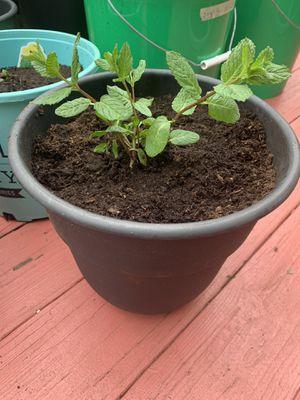 Mint plants mature mint plants for Sale in Manassas, VA