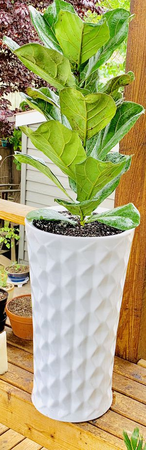 Live indoor Fiddle Leaf Fig (Ficus Lyrata) house plant tree in a textured ceramic planter flower pot—firm price for Sale in Seattle, WA