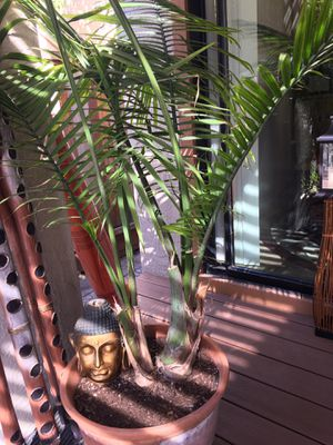 King of Palms for Sale in Hayward, CA