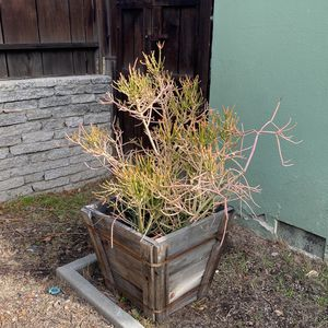 Large Fire Stick Plant Succulent In Planter Box for Sale in Los Angeles, CA