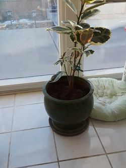 Floor House Plant for Sale in Arvada,  CO