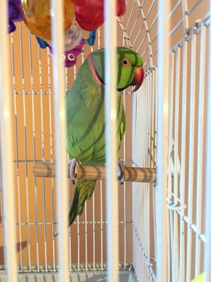 Parrot with cage for Sale in Boyds, MD