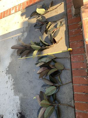 Rubber Plant Cuttings (burgundy) for Sale in San Clemente, CA