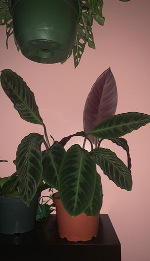 Calathea Warscewiczii House Plant for Sale in Downey, CA