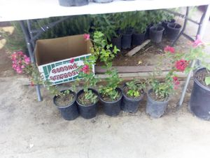 Crape mytle for Sale in Fresno, CA