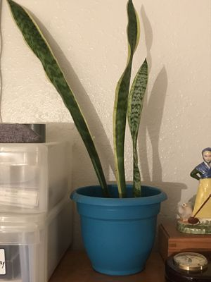 Sanseveria (snake plant) nice self watering pot for Sale in San Diego, CA