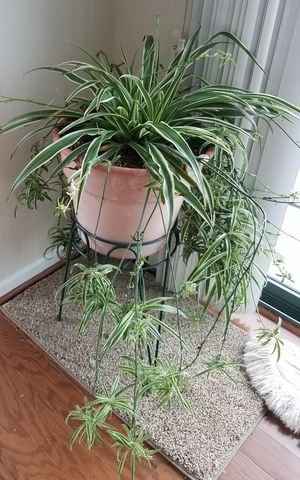 Beautiful spider plant for Sale in Rockville, MD
