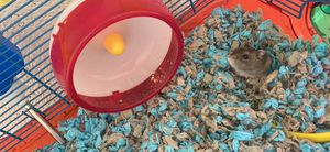 2 dwarf hamsters and all the accessories for Sale in Adrian, MI