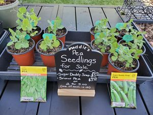 Pea Seedlings 🌱 for Sale for Sale in Fremont, CA