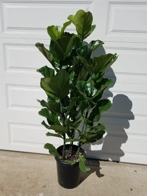 House Plant for Sale in Vista, CA