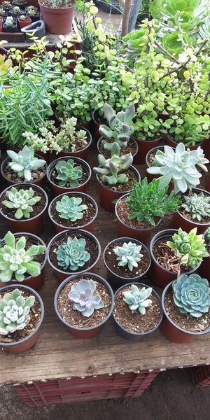$3 succulents plants for Sale in San Marcos, CA