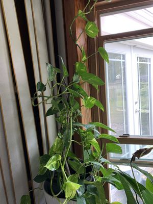Indoor plant for Sale in Princeton, NJ