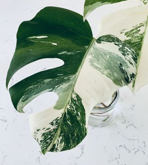 RARE Variegated Monstera Albo Cutting $385 for Sale in San Diego, CA