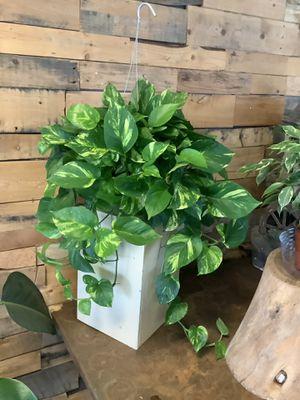 Golden pothos, pothos, devils ivy, scindapsus indoor plant for Sale in Bakersfield, CA