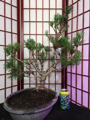 Bonsai : Japanese Black Pine for Sale in Malden, MA