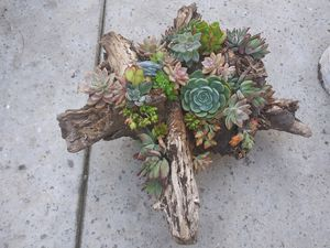 Live succulents planted in wooden log for Sale in Woodland, CA