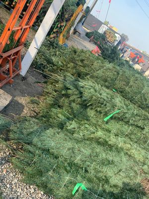 Fresh cut Christmas trees for Sale in Irwindale, CA