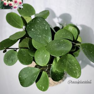 "Hoya Obovata 6"" for Sale in Lynwood, CA"