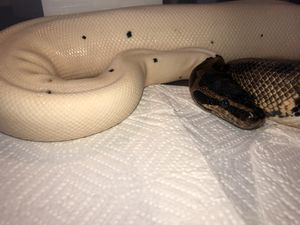 Ball pythons for Sale in Wheat Ridge, CO