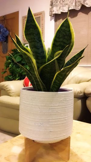 "Snake Plant - About 19"" tall total - Indoor Plant for Sale in Garden Grove, CA"