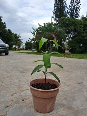 Mangos Trees for Sale in Fort Myers, FL