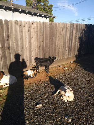 Nigrian dwarf goat for Sale in Oroville, CA