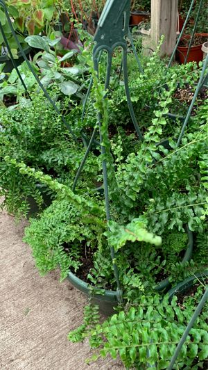 Fern plant for Sale in Modesto, CA