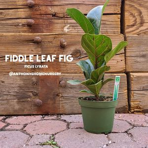 """Fiddle Leaf Fig """"Little Bambino"""" Indoor Plant Ficus lyrata 4"""" for Sale in San Jacinto, CA"""