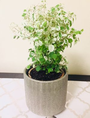 Ficus Pumila Variegata Plant for Sale in San Francisco, CA