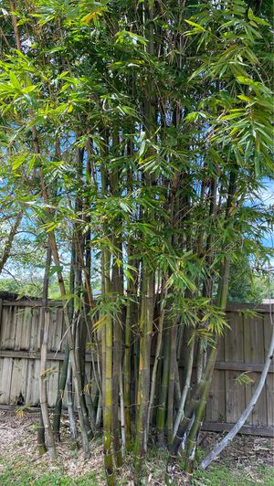 Bamboo for sale (Non- invasive) for Sale in Oviedo, FL