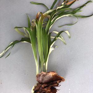 Staghorn Fern Plant for Sale in Miami, FL