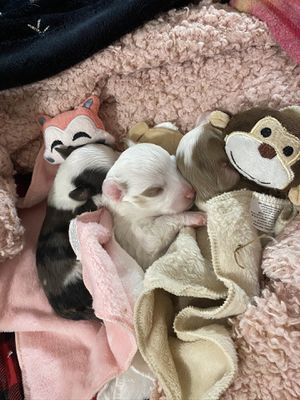 Q Aussie puppies! for Sale in McKinney, TX