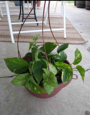 House plant for Sale in St. Louis, MO